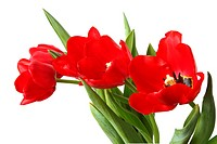 Spring flower _ bouquet of red tulips. Isolated on white