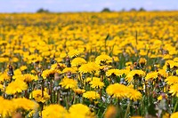 Close_up of many dandelion flowers at the field