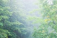 Fog in forest, Norikura Plateau, Matsumoto, Nagano Prefecture, Japan