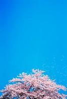 Cherry trees full of spring blossom
