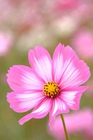 Close up of cosmos flower