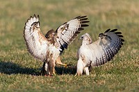 Common Buzzard Buteo buteo, two on meadow, fighting over food, Lower Saxony, Germany