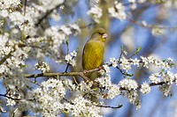 Greenfinch Carduelis chloris, perched on blackthorn branch, Lower Saxony, Germany