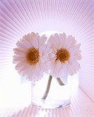 Pink gerberas in a glass