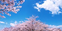 Cherry trees under a blue sky