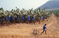 BANANA PLANTATION, CAMEROON. SW Province, Mount Kupe _ Nyasoso. . The bananas are covered in plastic bags to prevent marks. The plastic ends up as lit...