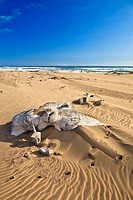 Whale bones on the shore in the Skeleton Coast Park, Namibia, Africa