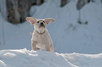 Yellow Labrador retriever puppy standing on the top of a snow bank with the wind blowing its ears