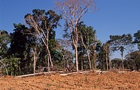 DEFORESTATION AMAZON, BRAZIL. Vicinitiy Rio Branco. Rainforest cut down to clear land to grow sugar cane on. This is processed into alcohol and used a...
