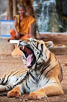 Yawning Tiger in the Tiger Temple in Kanchanaburi