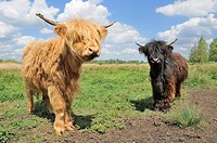 Highland cattle, young calves on lowland pasture, Suffolk, England, May