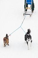 Kicksledding with dogs on the frozen Assiniboine River, Winnipeg, Manitoba, Canada
