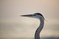A great white egret on the beach, Sarasota, Florida, USA