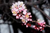 Flowerses apricot tree