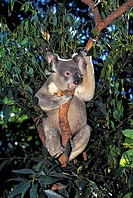 KOALA phascolarctos cinereus, ADULT STANDING IN TREE, AUSTRALIA