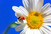 ladybird,ladybird beetle on daisy flower, Switzerland