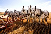 A team of mules lined up to push an old farm machine