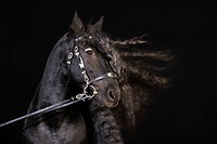 portrait of black horse with long mane