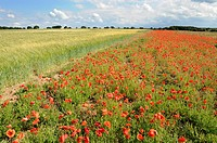 Common poppy, papaver rhoeas, on headland of Barley, Norfolk, UK, July
