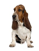 Basset Hound _ Hush Puppies