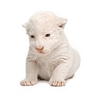 White Lion Cub 1 week