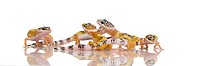group of Young Leopard gecko _ Eublepharis macularius
