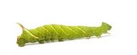 Lime Hawk_moth caterpillar _ Mimas tiliae