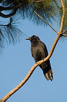American Crow Corvus brachyrhynchos adult, perched on conifer branch, San Diego, California, U S A , april