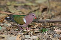 Emerald Dove Chalcophaps indica adult, standing on leaf litter, Cairns, Queensland, Australia