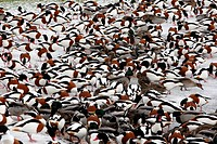 Common Shelduck Tadorna tadorna and Mallard Duck Anas platyrhynchos mixed flock, feeding on ice at edge of lake, Martin Mere, Lancashire, England, dec...