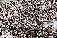 Common Shelduck Tadorna tadorna and Mallard Duck Anas platyrhynchos mixed flock, feeding on ice at edge of lake, Martin Mere, Lancashire, England, dec...