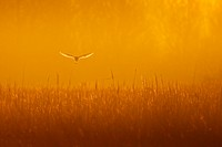 Barn Owl Tyto alba adult, in flight, hunting over reeds at dawn, Norfolk, England, january