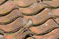 House Sparrow Passer domesticus adult female, standing on tiled roof, Norfolk, England, june