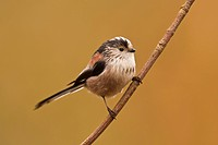 Long_tailed Tit Aegithalos caudatus adult, perched on twig, Norfolk, England, february