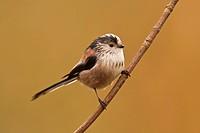Long_tailed Tit Aegithalos caudatus adult, perched on twig, Norfolk, England, february