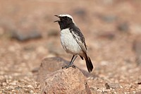 Red_rumped Wheatear Oenanthe moesta adult male, singing, standing on rock, Boulmane Dades, Morocco, february