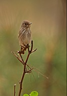 Dark_sided Flycatcher Muscicapa sibirica adult, perched on twig, Hebei, China, may