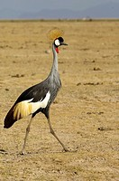 Crowned Crane cuelligris, photographed in Amboseli National Park, Kenya