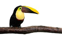 Chestnut_mandibled Toucan _ Ramphastos swainsonii 3 years