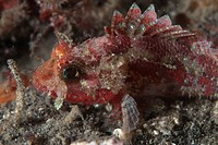 Mozambique Scorpionfish Parascorpaena mossambica adult, close_up of head, Lembeh Island, Sulawesi, Indonesia