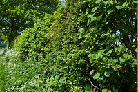 Hedgerow beside footpath, South Harting, Sussex, England, may