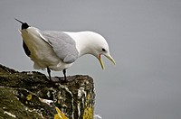 Kittiwake (Rissa tridactyla), Alaska, USA