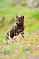 Arctic Fox (Alopex lagopus or Vulpes lagopus) summer coat