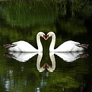 Mute swans Cygnus olor touching beaks, forming heart shape (thumbnail)