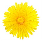 One yellow flower of dandelion
