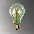 Ear of wheat growing inside of light bulb