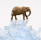 Elephant walking on ice