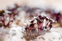 Purple radish sprouts, close_up