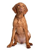 Vizsla dog, 4 months old, sitting in front of white background