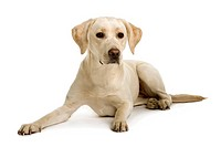 Labrador, 2 years old, sitting in front of white background